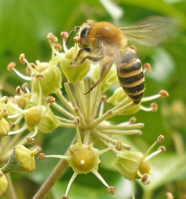 An ivy mining bee