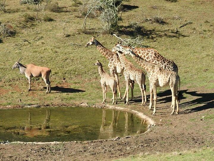 Our giraffe family yes Ella the Eland is a part of it... Nature does not discriminate. In fact she is the nanny for mommy Gigi and dad Merlin #baby#giraffe#nature #picoftheday#waterhole #nanny#mom#dad#wildlife #eland#allwelcome #farm #game#wildanimals #safari #lodge #view