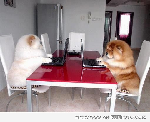 chow chow dogs at work bahahah