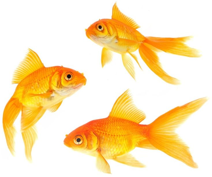 The 25 best goldfish ideas on pinterest gold fish pet for Fish and more pet store
