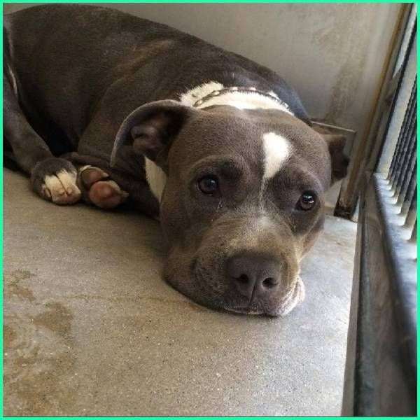 Found Dog - Pit Bull in SAN BERNARDINO, CA 	 Pet Name:	Unknown   (ID# 62491) Gender:	Female Breed:	Pit Bull Color:	Silver/Grey Pet Size:	Large (40-75lbs) Pet Age:	2 years Date Found:	07/10/2014 Zip Code:	92408 (SAN BERNARDINO, CA)
