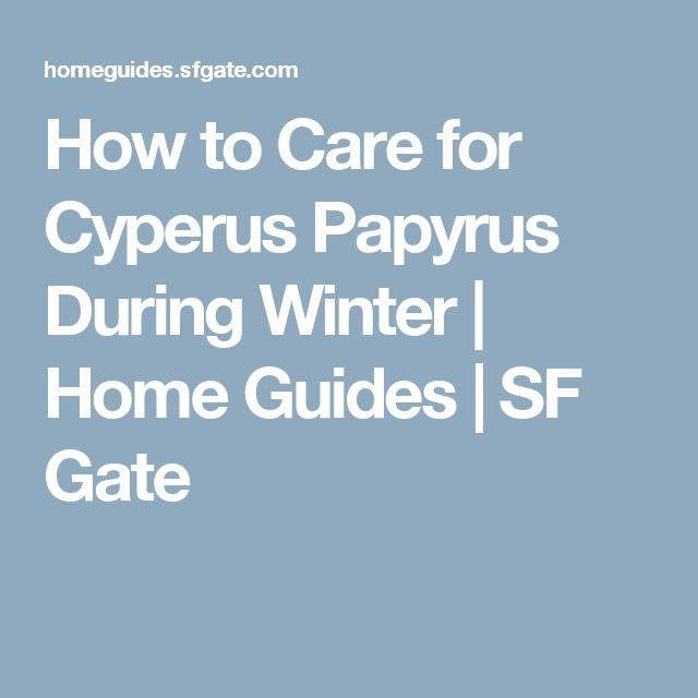 How to Care for Cyperus Papyrus During Winter   Home Guides   SF Gate