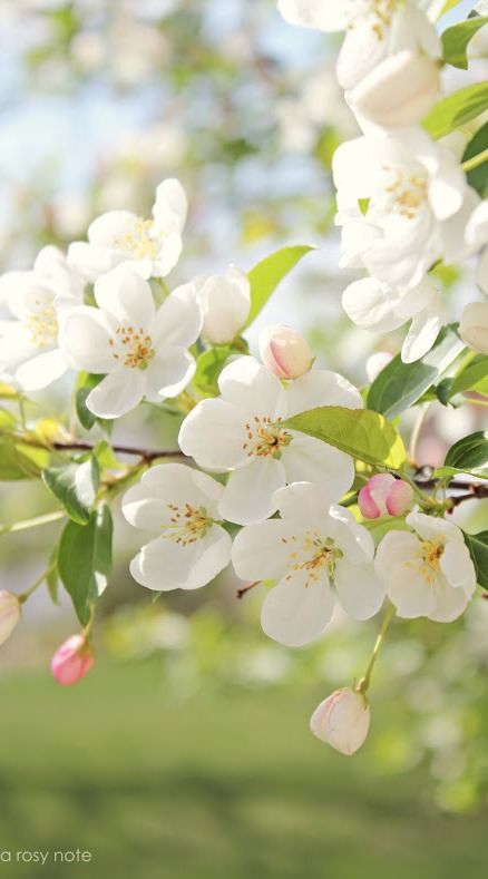 apple blossoms, the state flower of arkansas.