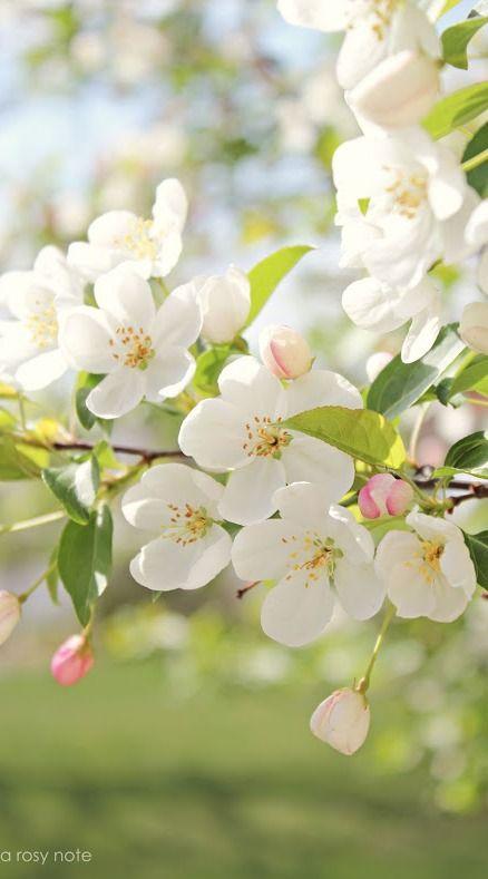 apple blossoms....