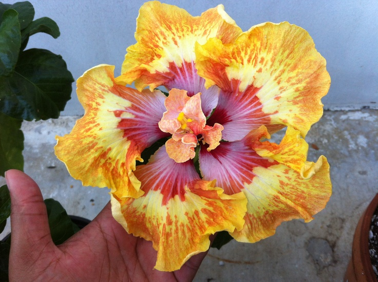 15 best multi colored hibiscus images on pinterest for How to make multi colored flowers