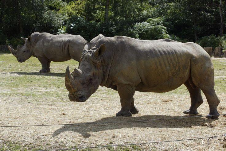 Matan a un rinoceronte en un zoo francés para robarle un cuerno