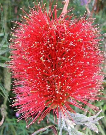 Red Bottlebrush Flower (Callistemon) by mooseyscountrygarden: Well named flower, endemic to Australia.  #Bottlebrush_Flower #mooseyscountrygarden