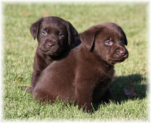 Welcome to Puddleduck Retrievers| Morrill Maine | Get a ...