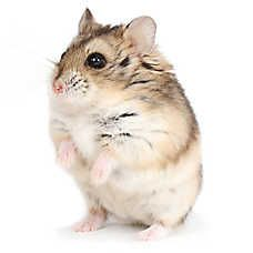 Male Russian Dwarf Hamster