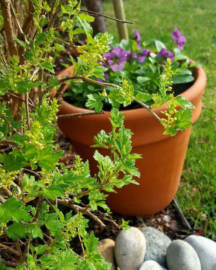 Pansies in early spring #norway #stemor