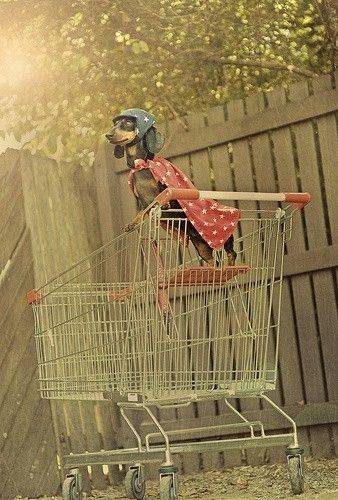 Dachshund in a shopping cart... with a cape... and a helmet. *squeeeee*!