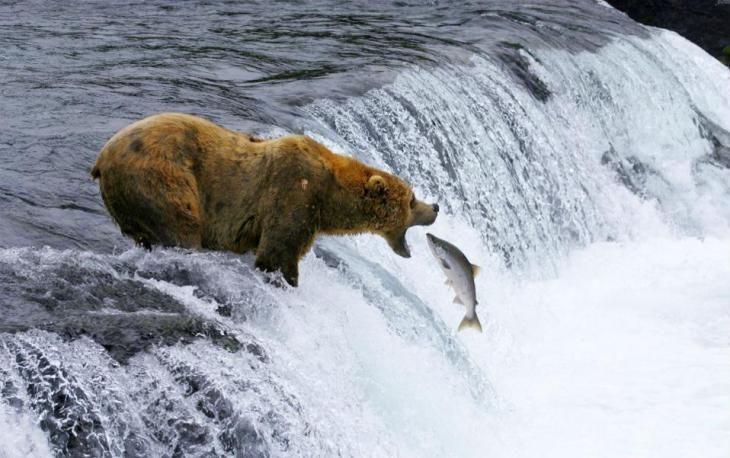 Τα εντυπωσιακά εθνικά πάρκα των ΗΠΑ υμνεί η ταινία «National Parks Adventure» που θα προβληθεί στους κινηματογράφους της χώρας. Η φωτογραφία του άτυχου σολομού ανήκει στο υλικό της ταινίας και τραβήχτηκε στο Katmai εθνικό πάρκο της Αλάσκας. (Brad Ohlund/MacGillivray Freeman Films/VisittheUSA.com via AP)