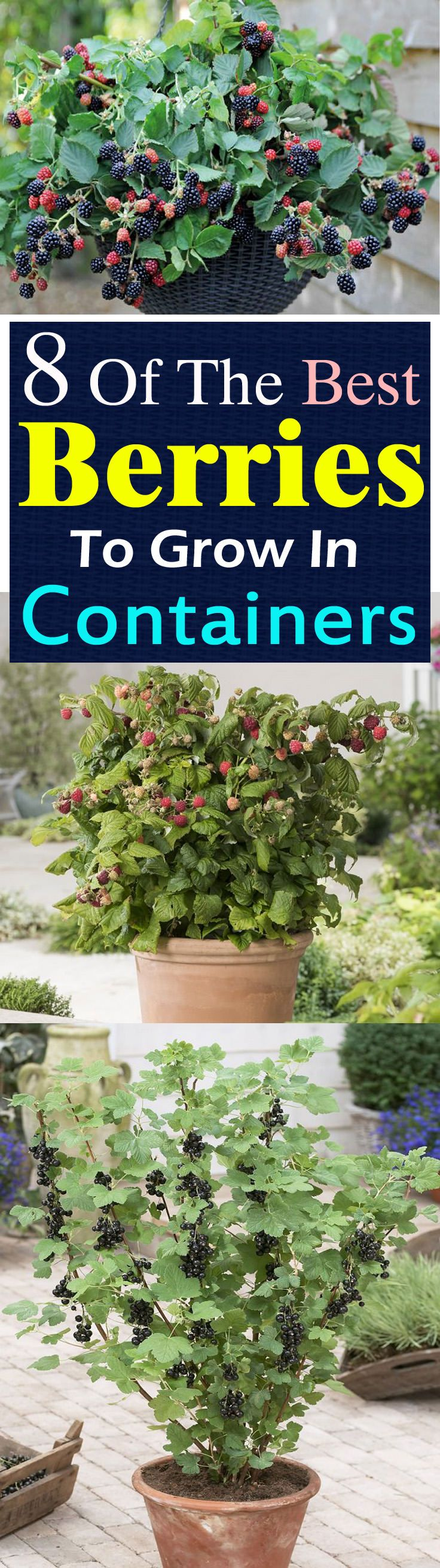 ~ Want to grow berries? But what to do if you don't have space to plant them? Growing berries in containers is the answer!