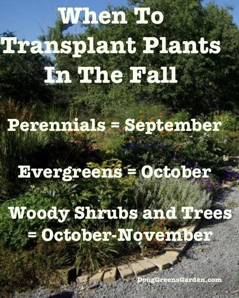 When to transplant garden plants in the fall from http://DougGreensGarden.com | Gardening Man