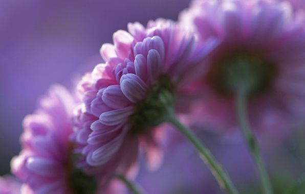 Wallpaper chrysanthemums, pink, flowers, petals, purple, background