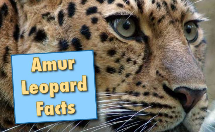 Facts about Amur Leopards. Information, fact list & pictures. Amur leopard habitat, population, conservation status. Find why these leopards are endangered.
