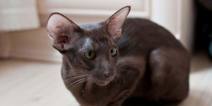 Oriental breeds info, Temperament, kitten names, Price ...