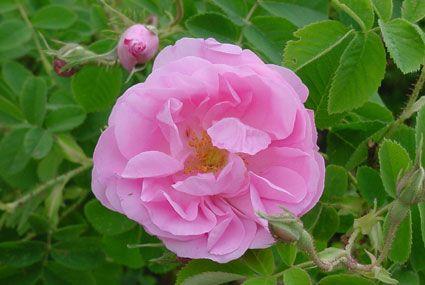 L'eau florale de rose : son odeur est sublime, raffinée, on lui prête un effet équilibrant et harmonisant voire aphrodisiaque…