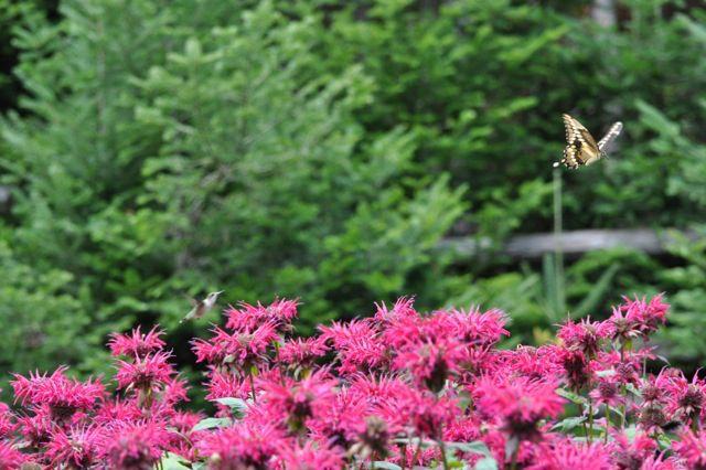 Colibri poursuivant un papillon