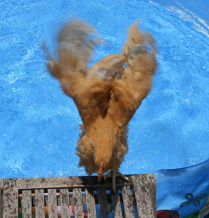 15 best images about swimming chickens on pinterest swim for Swimming chicken