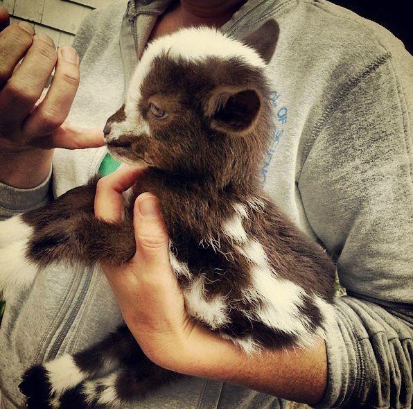 Baby goat! Ala @Anna Totten Totten Totten Stephens