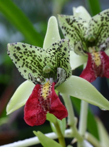 Cymbidiella pardalina or The Red-Lipped Cymbidiella. A plant from Madagascar found at elevations of 800 to 1300 meters.