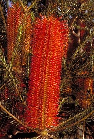 Banksia ericifolia [Common Name: Heath-leaved banksia]; Family: Proteaceae