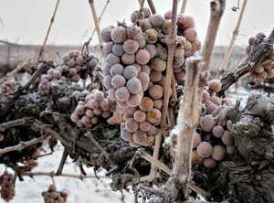 Niagara on the Lake Wineries - Ice Wine Grapes - Yum!  The best.