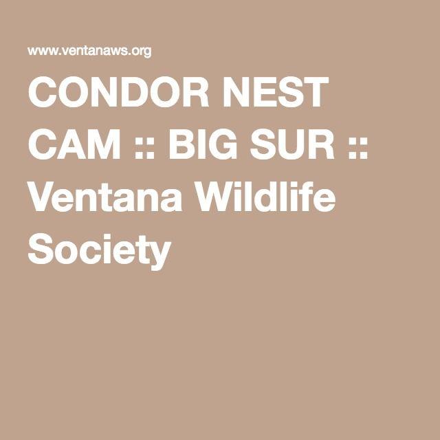 CONDOR NEST CAM :: BIG SUR :: Ventana Wildlife Society