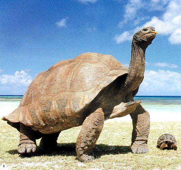 la tortue géante des Galápagos (Geochelone nigra), dans l'océan Pacifique.