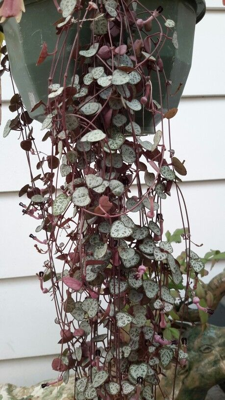 Chain Of Hearts Decorative Trailing Plant Suitable For