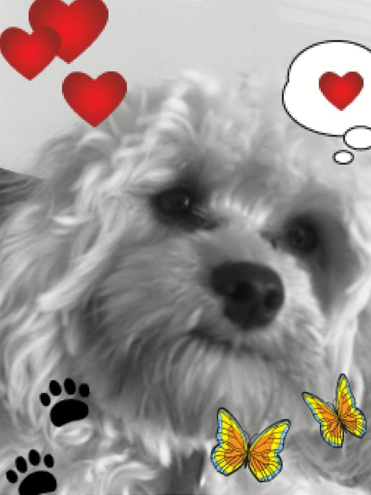 Esme the cute Cavapoo