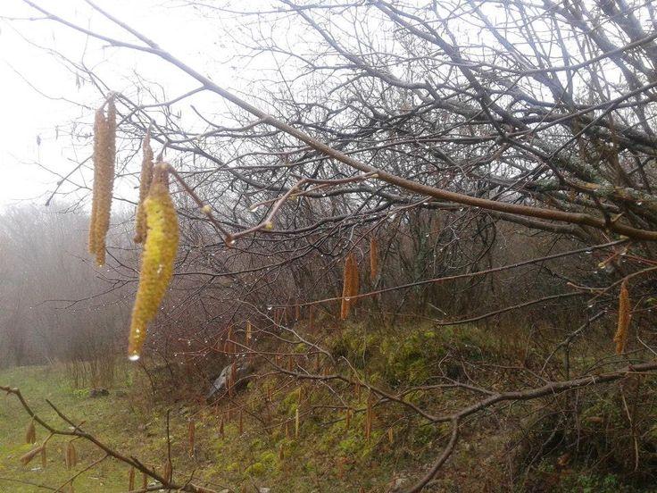 Φουντουκιές στο καστανόδασος - Hazel trees after rain in chestnut forest in Mikropoli Drama - Makedonia Hellas