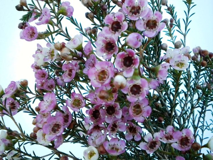 Pink waxflower - Available July-Nov. Pale pink with plum purple centres. So pretty for wedding bouquets, and a light lemon scent too
