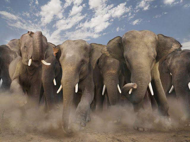 Elephants Charging Elephants Animals Beautiful Wild