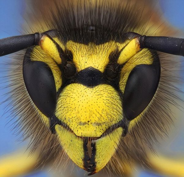 This is an amazing photo, if a bit frightening. I don't like stinging insects.