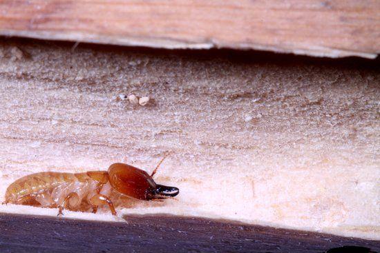 Do Termites Bite?   Terminix Blog