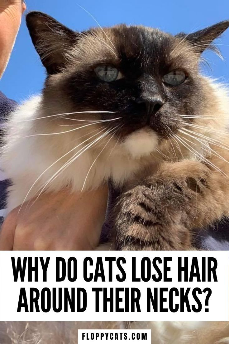 Hair Loss In Cats What Causes Cats To Lose Fur Around Their Necks In 2020 Cat Hair Loss Cats Cat Facts Funny