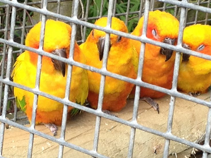 Beautiful golden parrots at The Parrot Zoo