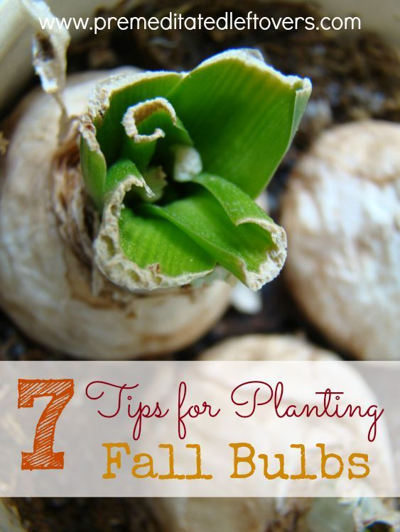 7 Tips for Planting Fall Bulbs in your yard and garden- Correctly planting your fall bulbs now can help you enjoy colorful results in the spring. Learn how with these helpful tips.