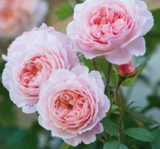 Thornless Roses, List of Roses without Thorns Including Thornless Climbers