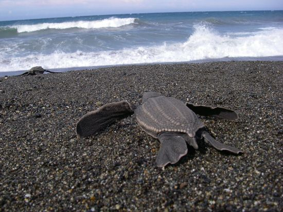 Pacific Leatherback Turtles Alarming Decline Continues | The Pacific Leatherback turtle's last stronghold could disappear within 20 years if conservation efforts aren't expanded, a new study finds. Pictured: A baby leatherback turtle heads out to sea. | Article date: 2-27-13