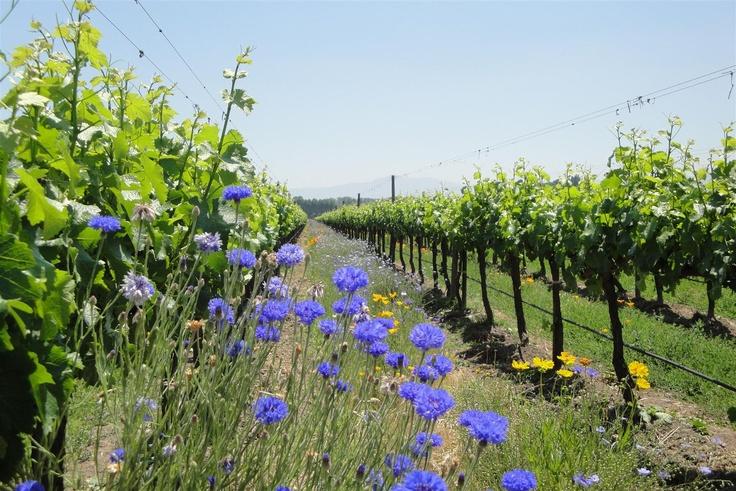 Nuevo Mundo Vineyard Chile