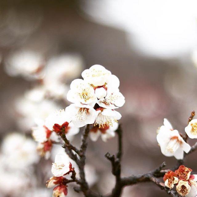 【liro_r】さんのInstagramをピンしています。 《. 大阪城の梅林へ♪ 満開には少し早かった^^; . ハーモニカで名曲を吹いてる おじいさんがいて雰囲気良し◎ 蕾がたくさん早くあったかくなれ~! . #canon #eoskissx8i #Japan #osaka #日本 #大阪城公園 #梅 #ザ花部 #桜 #はなまっぷ #花フレンド #一眼レフ #カメラ女子 #写真好きな人と繋がりたい #写真撮ってる人と繋がりたい #花好きな人と繋がりたい #ファインダー越しの私の世界 #お写んぽ #玉ボケ #japan_night_view #instadaily #instagood #instalike #instamood #team_jp_ #ig_japan #lovers_nippon #tv_flowers #wp_flower #japan_of_insta》