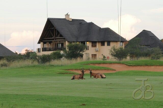 Who is golfing here? Antelopes on the green,  Zebula.