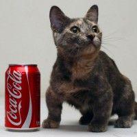 #dogalize Gatto più piccolo del mondo: si tratta di Pixel #dogs #cats #pets
