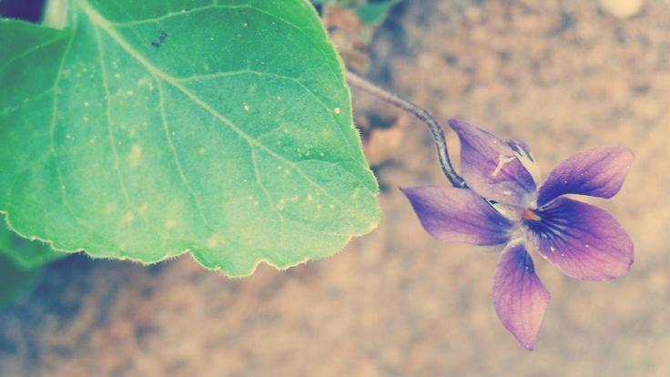 As nossas violetas