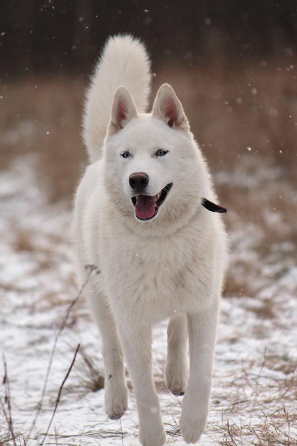 White Siberian Husky Puppies Best 25+ White ...