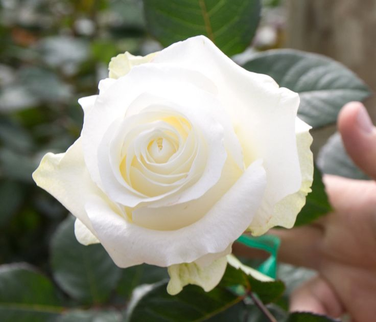 Do you like a beautiful white rose? Our Mondial is lovely – and on SALE through August 31st!  516-771-1070   http://www.feldisflorist.com/merrick-florist/roses-83c.asp?srccode=ROSE25&promotion_code=ROSE25 . . . #flowers #florist #corsage #floral #arrangement #arrangements #gift #party #officegift vintage #hydrangea #corporategift #elegant #classic #pretty #beautiful #floralgift #floraldesign #delivery #event #flowerlovers #flowershop #freshflowers #Giftbasket #giftidea #roses #boutonniere…