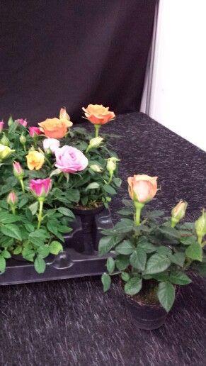 Zet zo 39 n mini potroos in een waxinelichtje op een dienblad met gekleurde kaarsen flora - Kleur gemengde kamer ...